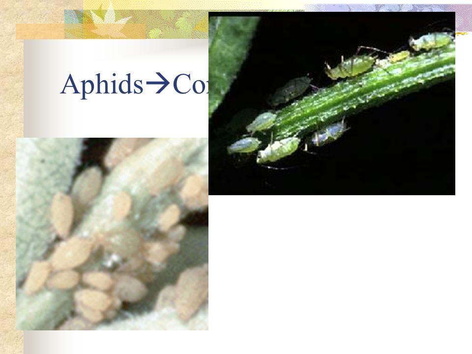 Aphids Common pest