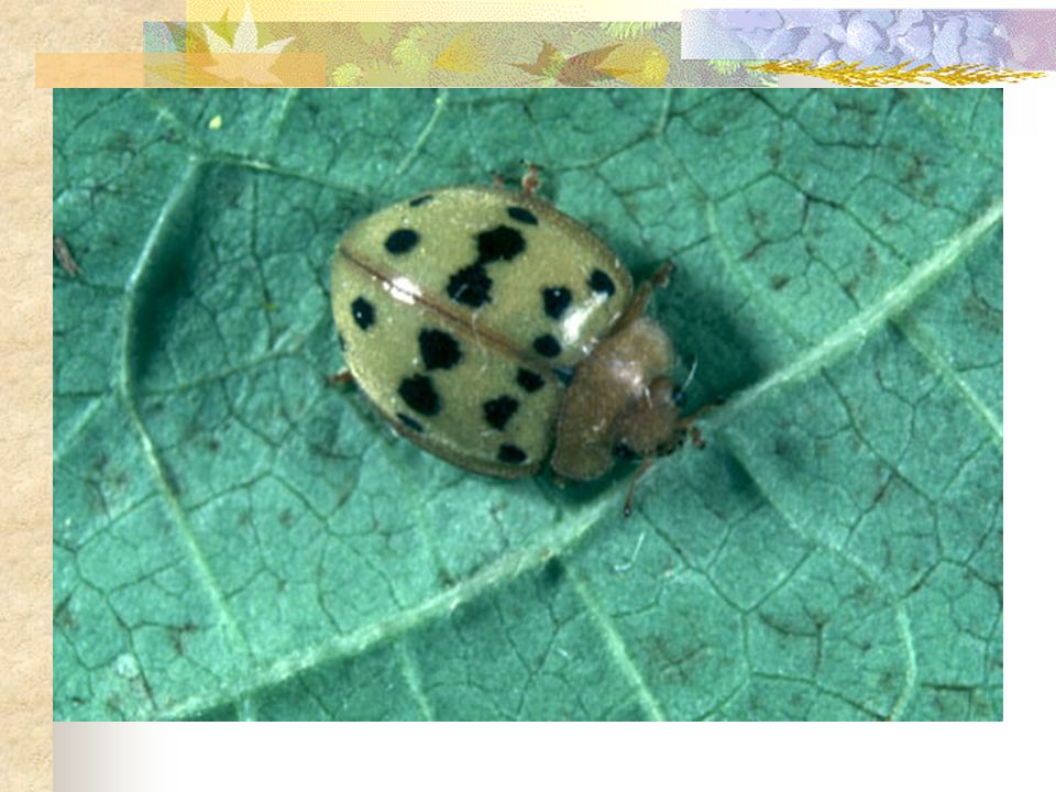 Examples that Work!!!. Mexican Bean Beetle is a common pest.