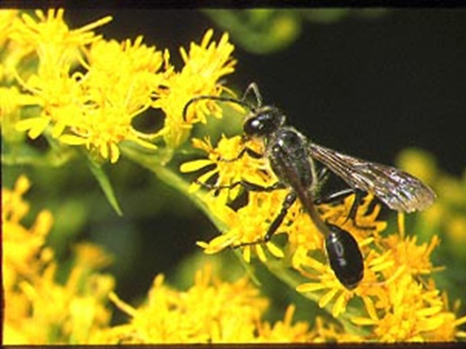 Digger Wasp Controls the population of Japanese beetle and Mexican bean beetle