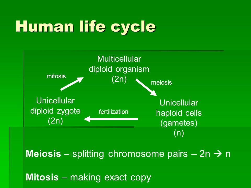 Human life cycle Multicellular diploid organism (2n) Unicellular haploid cells (gametes) (n) meiosis Unicellular diploid zygote (2n) fertilization mitosis Meiosis – splitting chromosome pairs – 2n n Mitosis – making exact copy
