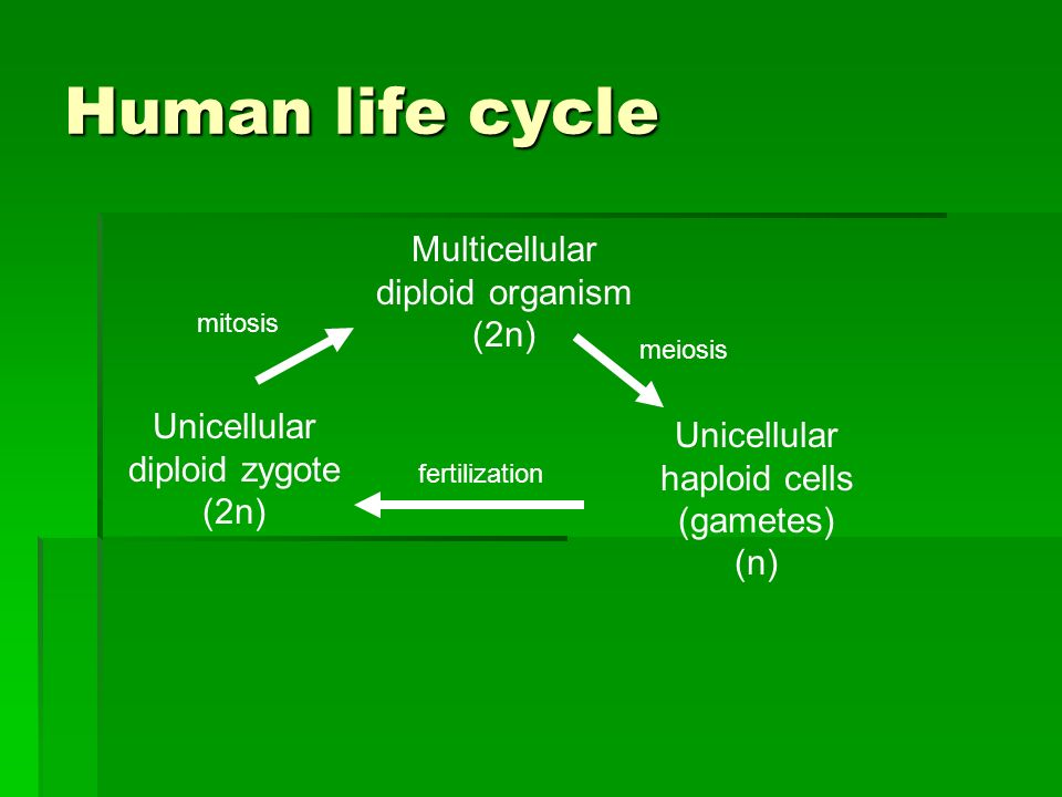Human life cycle Multicellular diploid organism (2n) Unicellular haploid cells (gametes) (n) meiosis Unicellular diploid zygote (2n) fertilization mitosis