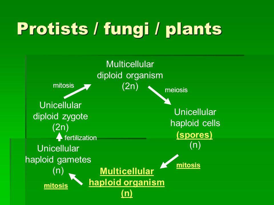 Protists / fungi / plants Multicellular diploid organism (2n) Unicellular haploid cells (n) meiosis Unicellular diploid zygote (2n) mitosis (spores) Multicellular haploid organism (n) mitosis Unicellular haploid gametes (n) fertilization mitosis