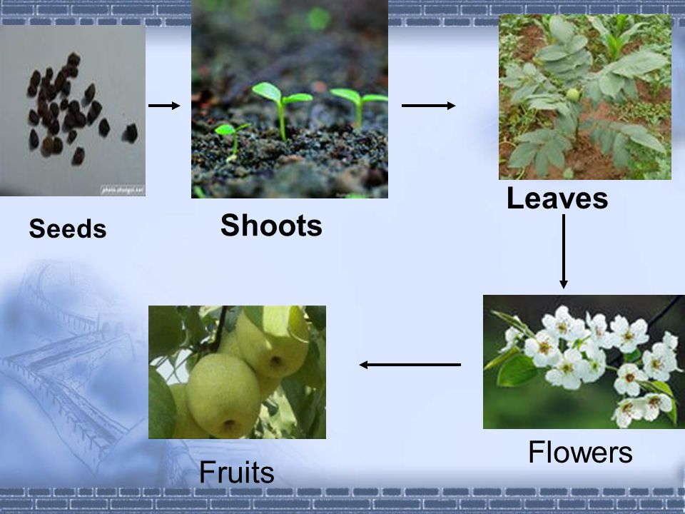 These are seeds Shoots come out More and more leaves See flowers Pick up fruits