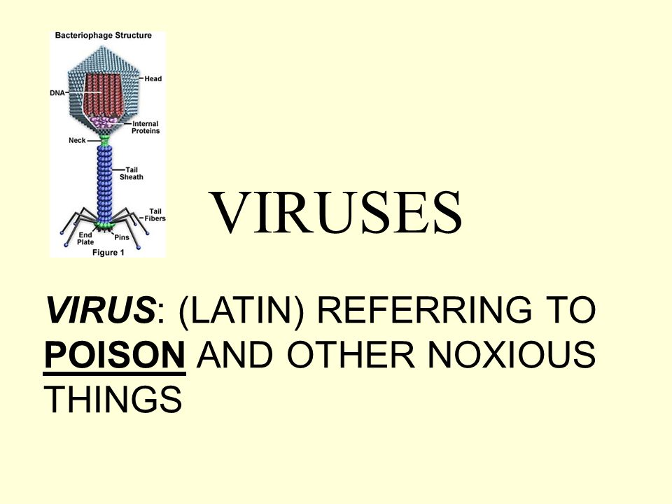 VIRUSES VIRUS: (LATIN) REFERRING TO POISON AND OTHER NOXIOUS THINGS