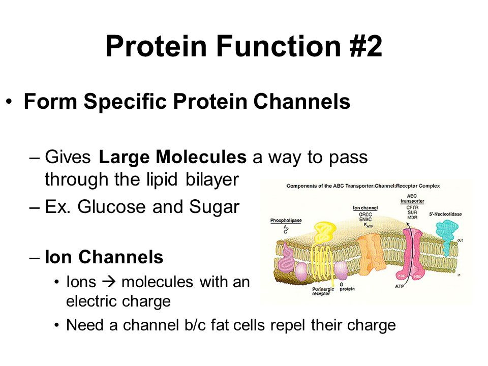 Protein Function #2 Form Specific Protein Channels –Gives Large Molecules a way to pass through the lipid bilayer –Ex.