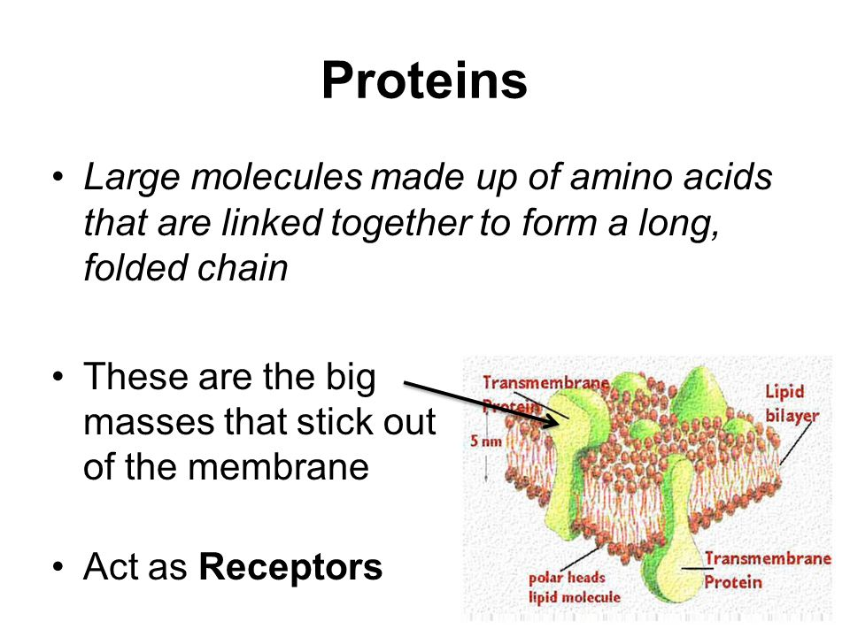Proteins Large molecules made up of amino acids that are linked together to form a long, folded chain These are the big masses that stick out of the membrane Act as Receptors