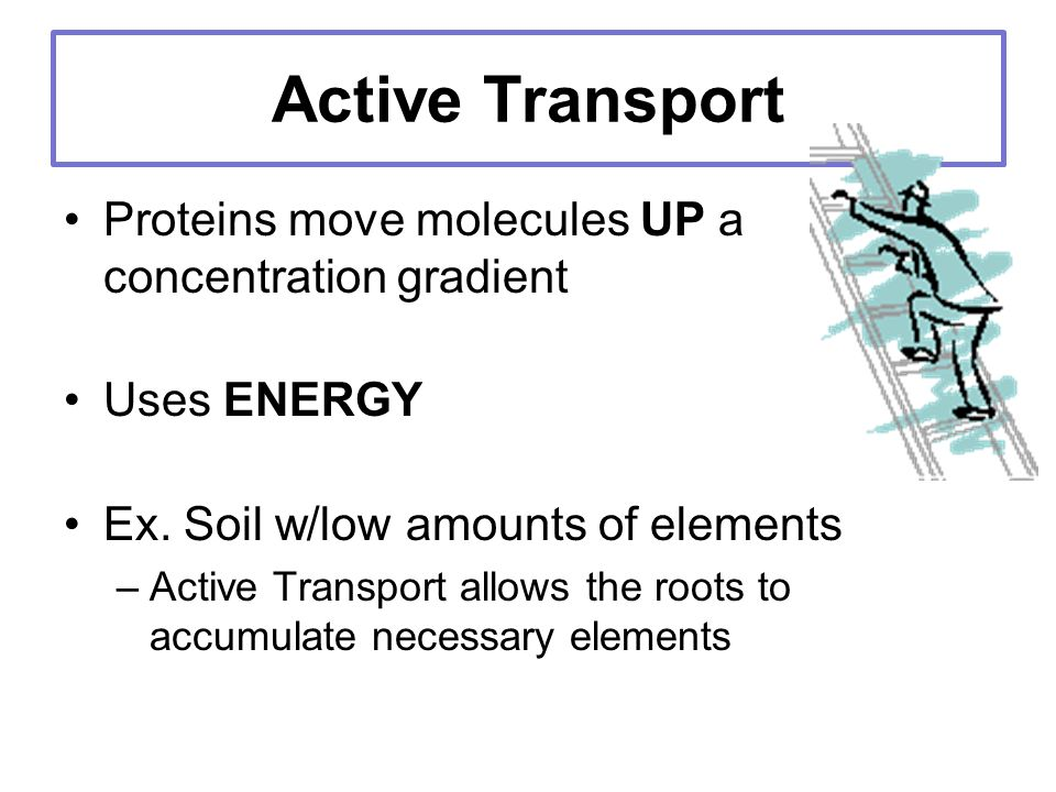 Active Transport Proteins move molecules UP a concentration gradient Uses ENERGY Ex.