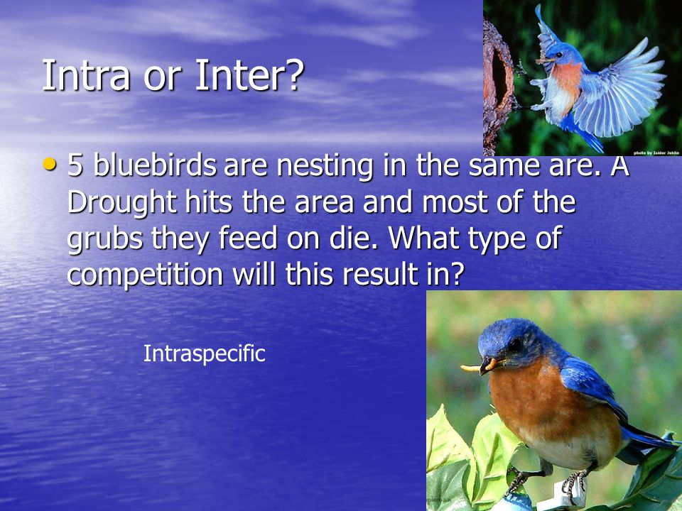 Intra or Inter. 5 bluebirds are nesting in the same are.