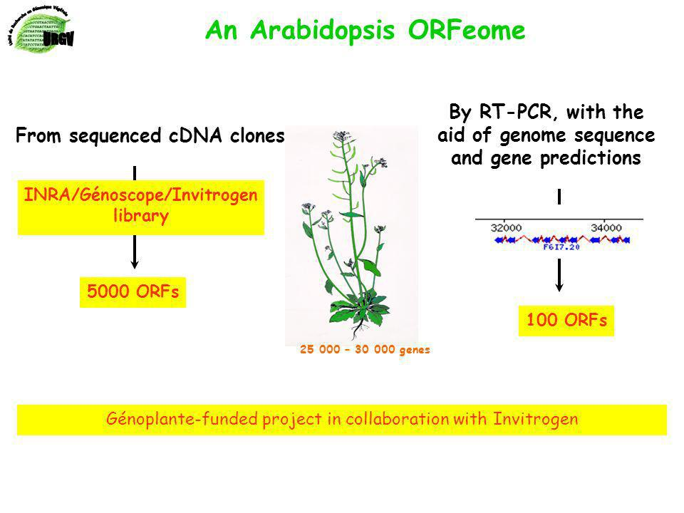 25 000 – 30 000 genes From sequenced cDNA clones By RT-PCR, with the aid of genome sequence and gene predictions An Arabidopsis ORFeome Génoplante-funded project in collaboration with Invitrogen INRA/Génoscope/Invitrogen library 5000 ORFs 100 ORFs
