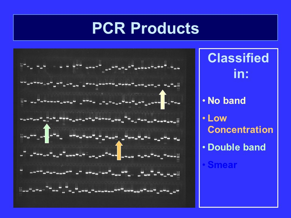 PCR Products Classified in: No band Low Concentration Double band Smear