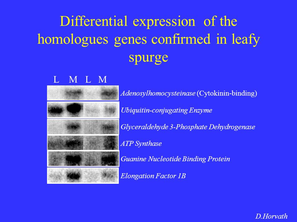 Differential expression of the homologues genes confirmed in leafy spurge Adenosylhomocysteinase (Cytokinin-binding) Ubiquitin-conjugating Enzyme Glyceraldehyde 3-Phosphate Dehydrogenase ATP Synthase Guanine Nucleotide Binding Protein Elongation Factor 1B L M D.Horvath