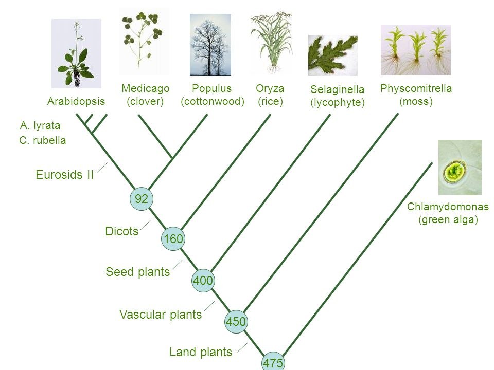 Populus (cottonwood) Oryza (rice) Medicago (clover) Arabidopsis Physcomitrella (moss) Land plants Vascular plants Seed plants Dicots Eurosids II 92 160 400 450 Selaginella (lycophyte) A.