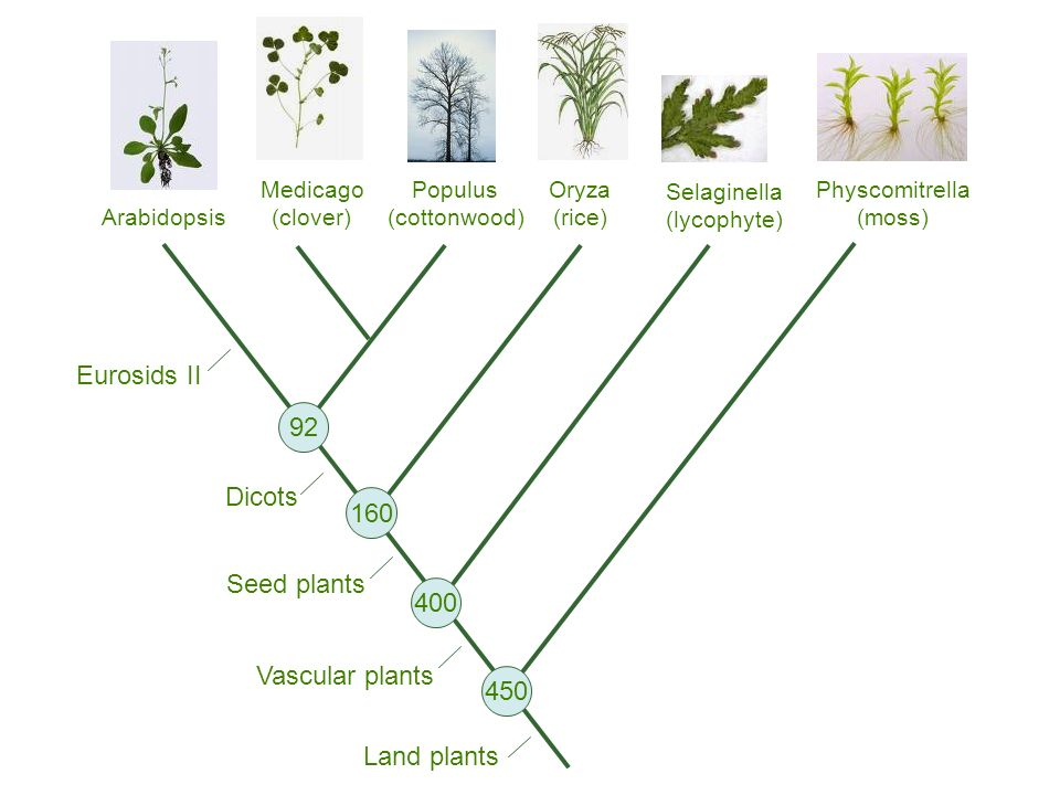 Populus (cottonwood) Oryza (rice) Medicago (clover) Arabidopsis Physcomitrella (moss) Land plants Vascular plants Seed plants Dicots Eurosids II 92 160 400 450 Selaginella (lycophyte)