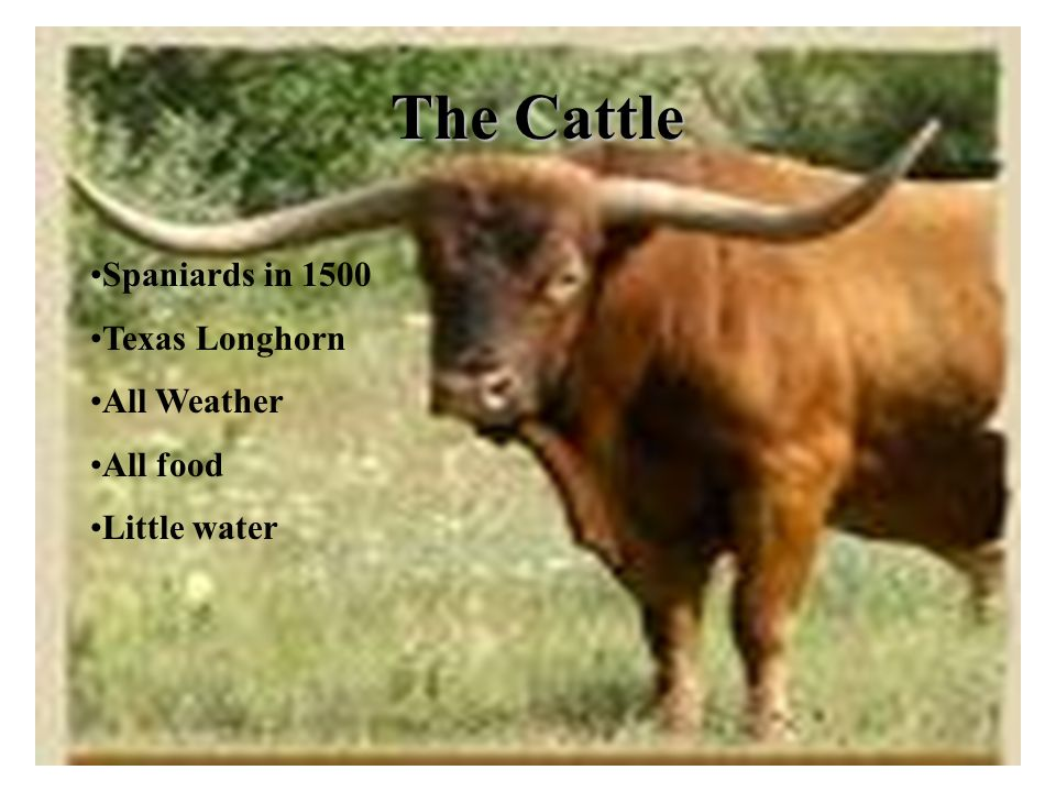 The Cattle Spaniards in 1500 Texas Longhorn All Weather All food Little water