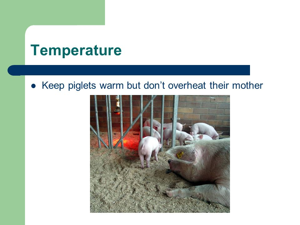 Temperature Keep piglets warm but dont overheat their mother