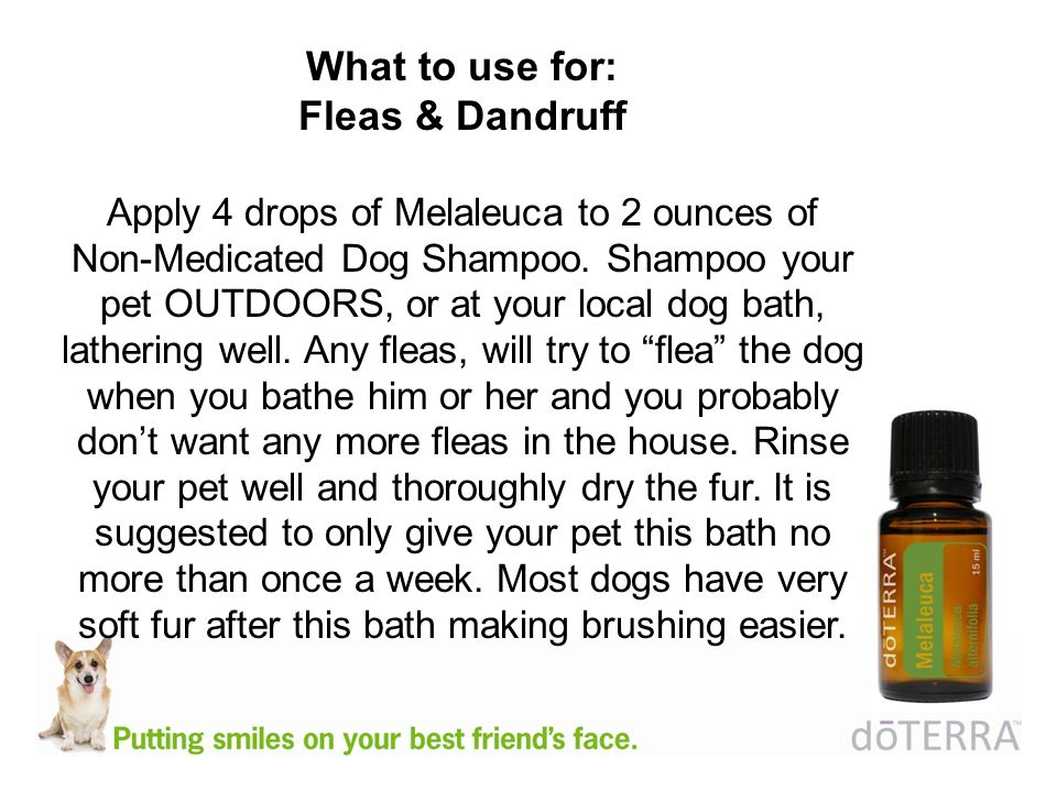 What to use for: Fleas & Dandruff Apply 4 drops of Melaleuca to 2 ounces of Non-Medicated Dog Shampoo.