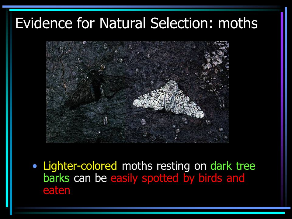 Evidence for Natural Selection: moths Lighter-colored moths resting on dark tree barks can be easily spotted by birds and eaten