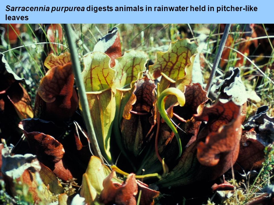 Sarracennia purpurea digests animals in rainwater held in pitcher-like leaves
