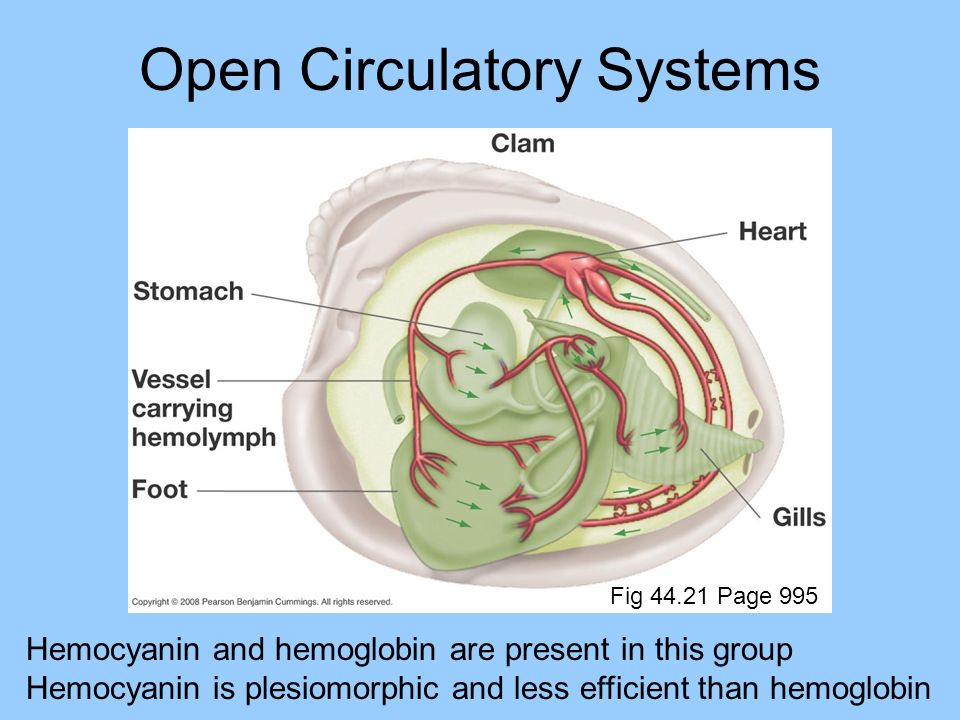 Open Circulatory Systems Hemocyanin and hemoglobin are present in this group Hemocyanin is plesiomorphic and less efficient than hemoglobin Fig 44.21 Page 995