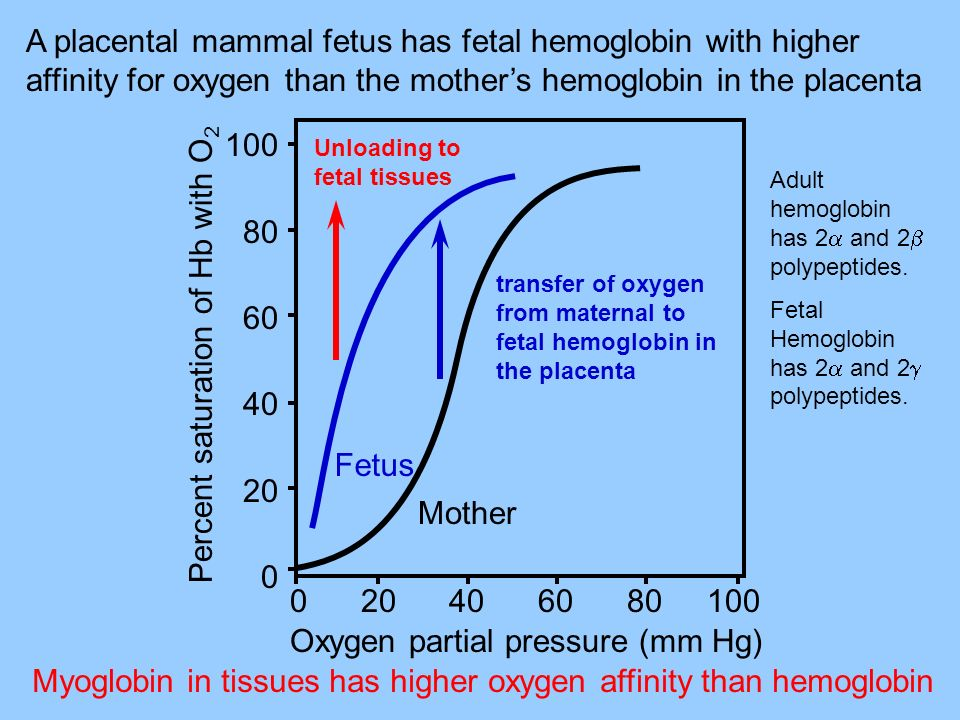 A placental mammal fetus has fetal hemoglobin with higher affinity for oxygen than the mothers hemoglobin in the placenta Myoglobin in tissues has higher oxygen affinity than hemoglobin Percent saturation of Hb with O 2 100 80 60 40 20 0 Unloading to fetal tissues transfer of oxygen from maternal to fetal hemoglobin in the placenta Fetus Mother Oxygen partial pressure (mm Hg) 0 20 40 60 80 100 Adult hemoglobin has 2 and 2 polypeptides.