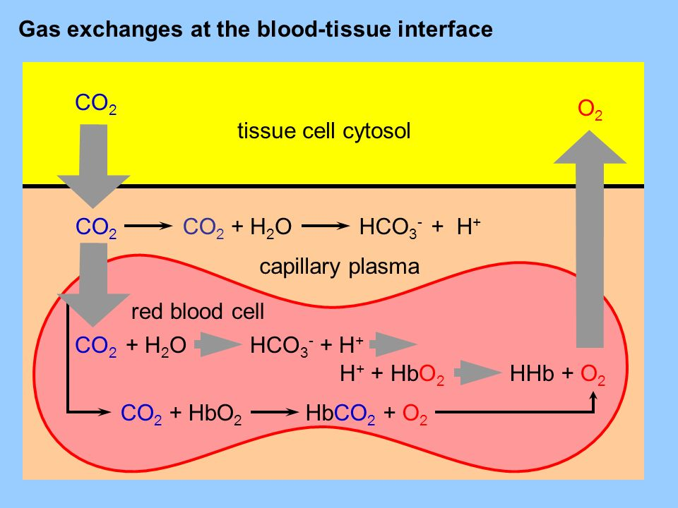 tissue cell cytosol CO 2 O2O2 + H 2 OHCO 3 - + H + CO 2 + H 2 OHCO 3 - + H + CO 2 + HbO 2 H + + HbO 2 HHb + O 2 HbCO 2 + O 2 capillary plasma red blood cell Gas exchanges at the blood-tissue interface