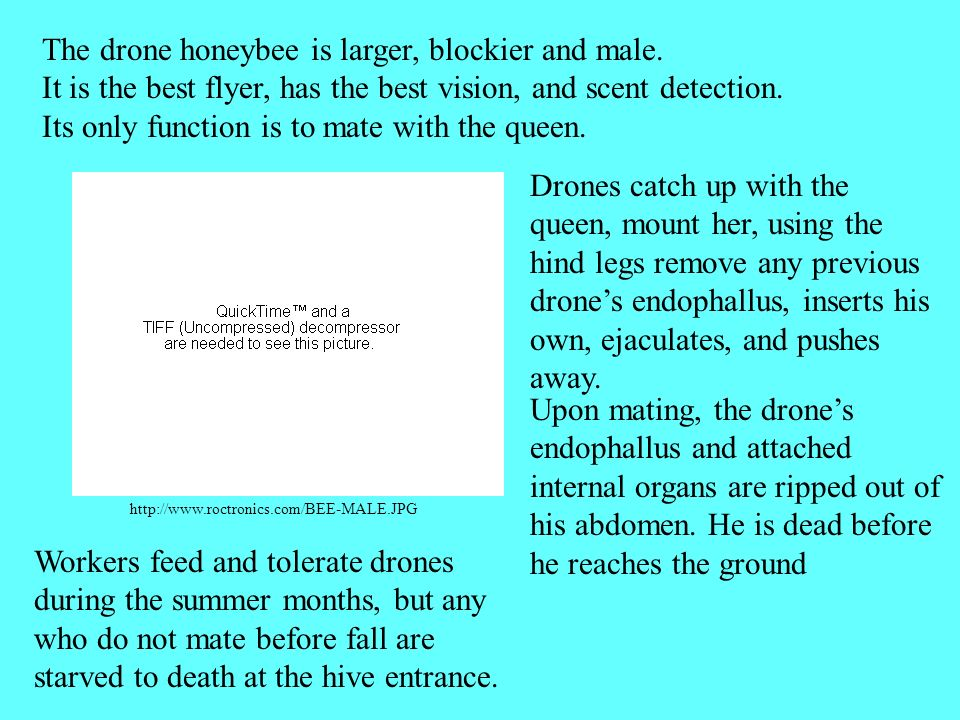 http://www.roctronics.com/BEE-MALE.JPG The drone honeybee is larger, blockier and male.