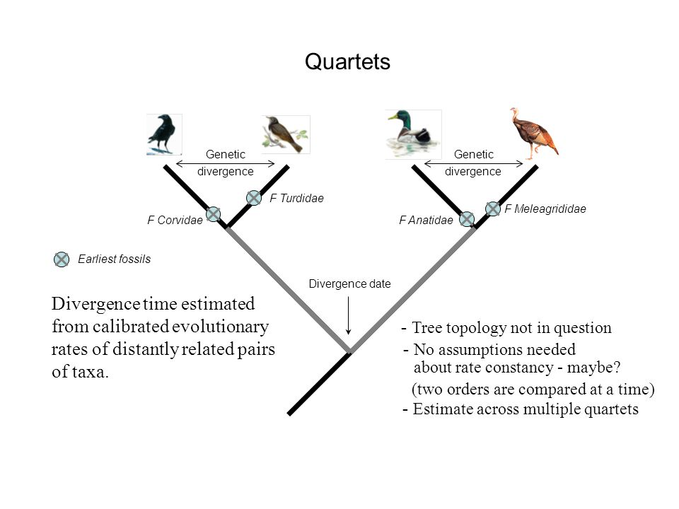 Quartets F Corvidae F Turdidae F Anatidae F Meleagrididae Earliest fossils Genetic divergence Genetic divergence Divergence time estimated from calibrated evolutionary rates of distantly related pairs of taxa.