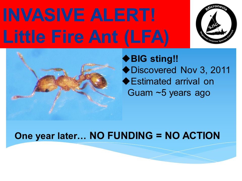 INVASIVE ALERT. Little Fire Ant (LFA) BIG sting!.
