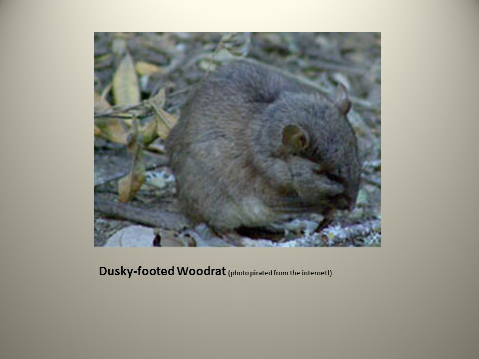 Dusky-footed Woodrat (photo pirated from the internet!)