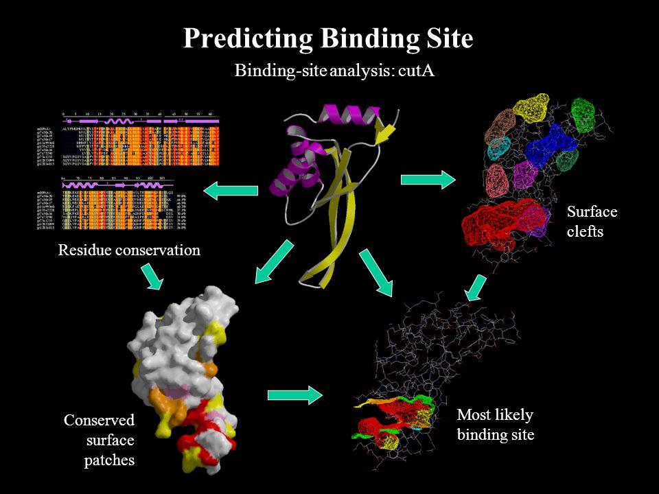 Predicting Binding Site Binding-site analysis: cutA Most likely binding site Surface clefts Residue conservation Conserved surface patches