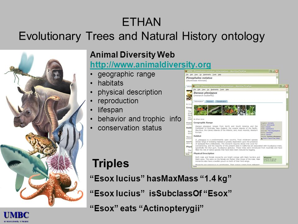 UMBC an Honors University in Maryland ETHAN Evolutionary Trees and Natural History ontology Animal Diversity Web http://www.animaldiversity.org geographic range habitats physical description reproduction lifespan behavior and trophic info conservation status Esox lucius hasMaxMass 1.4 kg Esox lucius isSubclassOf Esox Esox eats Actinopterygii Triples
