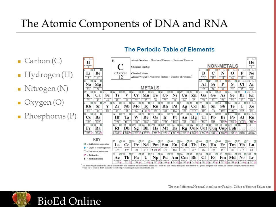 www.BioEdOnline.org BioEd Online The Atomic Components of DNA and RNA Carbon (C) Hydrogen (H) Nitrogen (N) Oxygen (O) Phosphorus (P) Thomas Jefferson National Accelerator Facility, Office of Science Education The Periodic Table of Elements