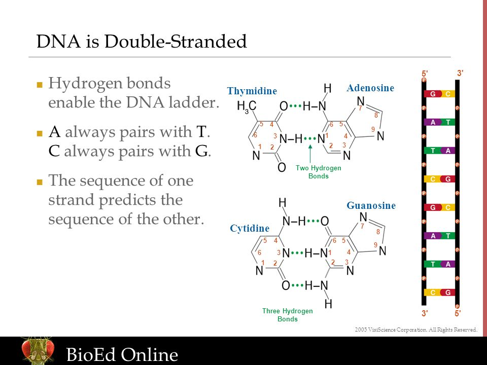 www.BioEdOnline.org BioEd Online 5 3 DNA is Double-Stranded Hydrogen bonds enable the DNA ladder.