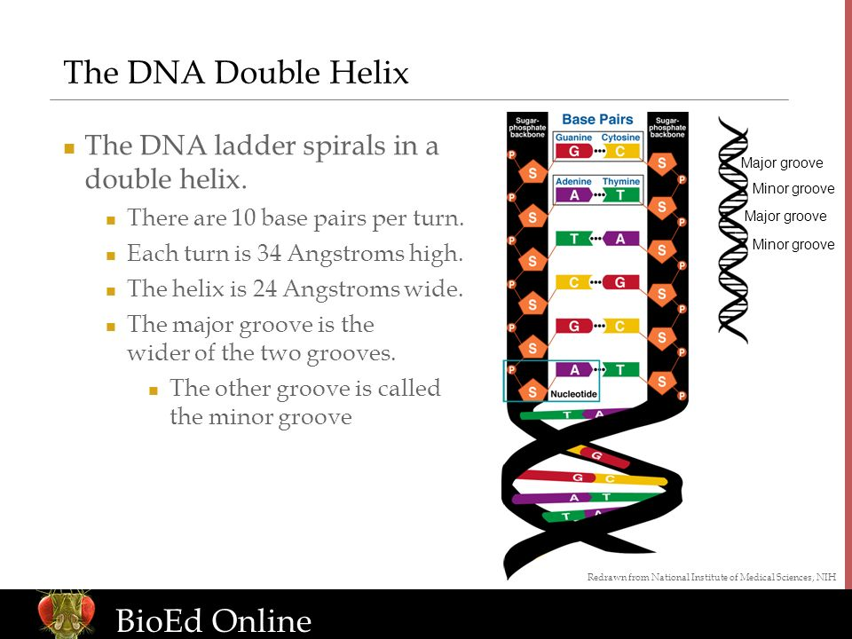 www.BioEdOnline.org BioEd Online The DNA Double Helix The DNA ladder spirals in a double helix.
