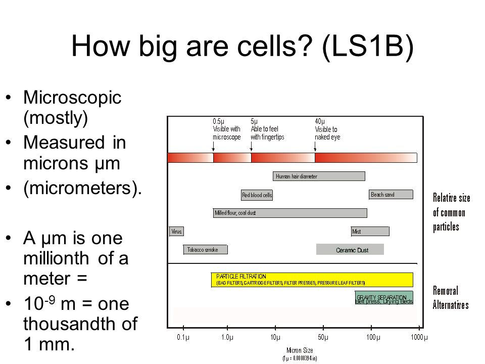 How big are cells. (LS1B) Microscopic (mostly) Measured in microns µm (micrometers).