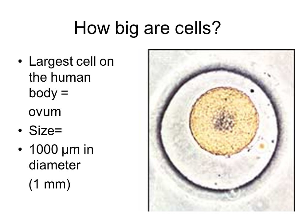 How big are cells Largest cell on the human body = ovum Size= 1000 µm in diameter (1 mm)