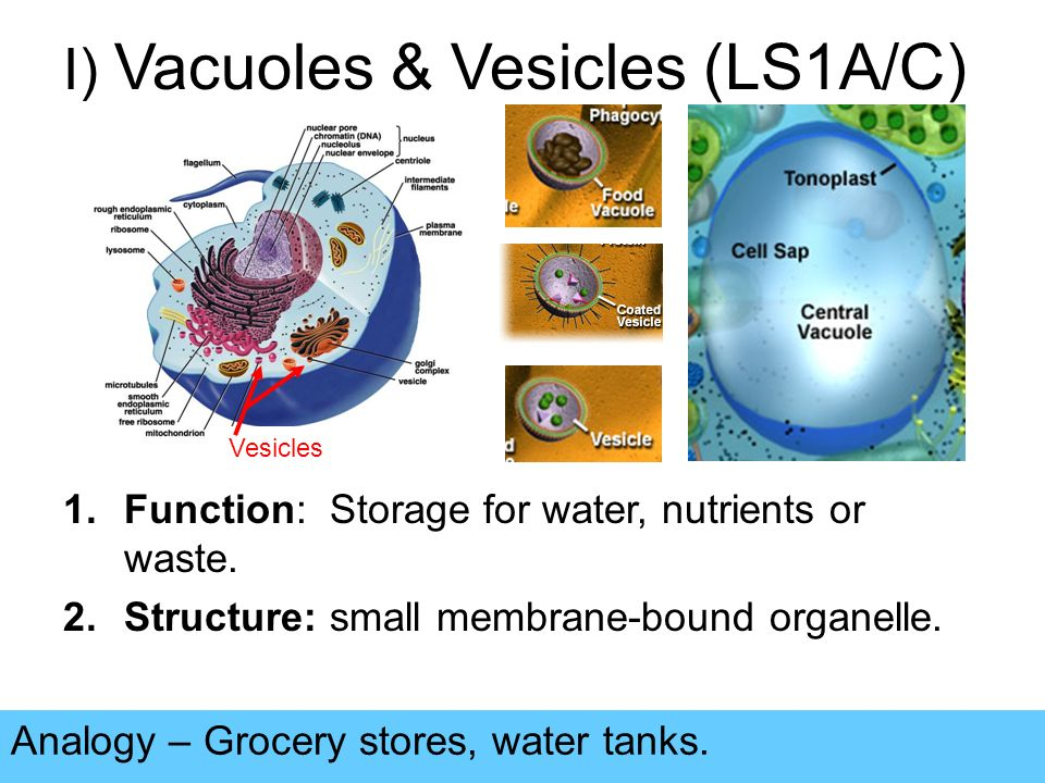 I) Vacuoles & Vesicles (LS1A/C) Analogy – Grocery stores, water tanks.