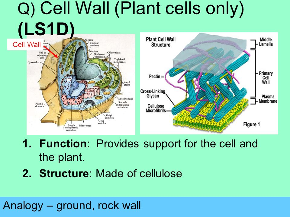 Q) Cell Wall (Plant cells only) (LS1D) Analogy – ground, rock wall 1.Function: Provides support for the cell and the plant.