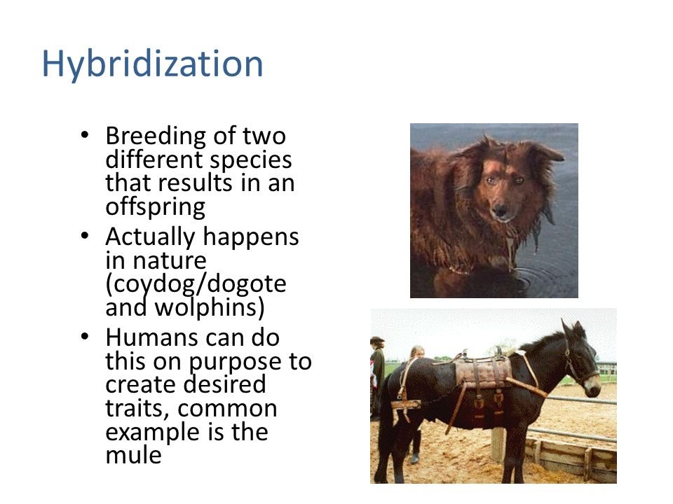 Hybridization Breeding of two different species that results in an offspring Actually happens in nature (coydog/dogote and wolphins) Humans can do this on purpose to create desired traits, common example is the mule