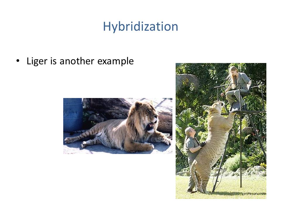 Hybridization Liger is another example