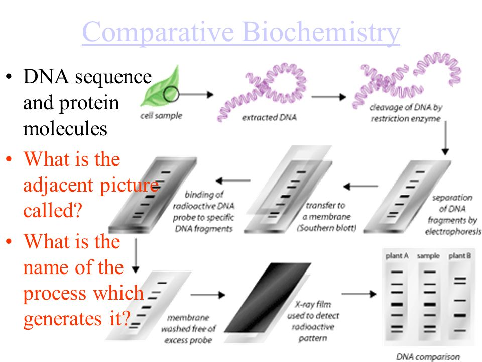 Comparative Biochemistry DNA sequence and protein molecules What is the adjacent picture called.