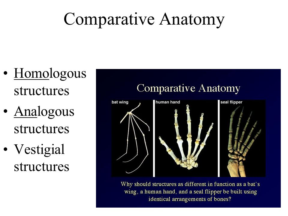 Comparative Anatomy Homologous structures Analogous structures Vestigial structures