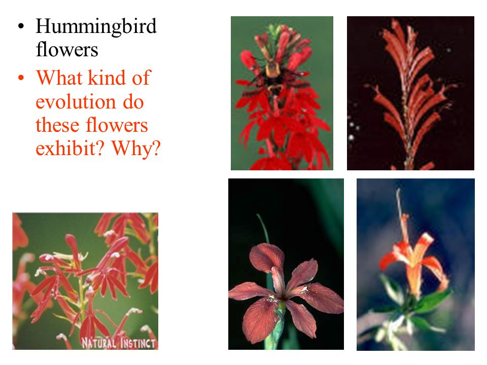 Hummingbird flowers What kind of evolution do these flowers exhibit Why
