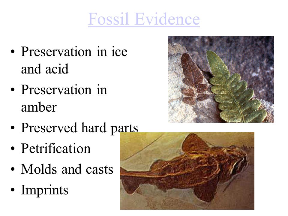 Fossil Evidence Preservation in ice and acid Preservation in amber Preserved hard parts Petrification Molds and casts Imprints