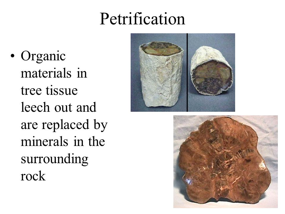 Petrification Organic materials in tree tissue leech out and are replaced by minerals in the surrounding rock