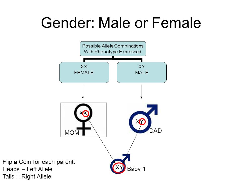 Gender: Male or Female Possible Allele Combinations With Phenotype Expressed XX FEMALE XY MALE XX MOM XY DAD XY Baby 1 Flip a Coin for each parent: Heads – Left Allele Tails – Right Allele