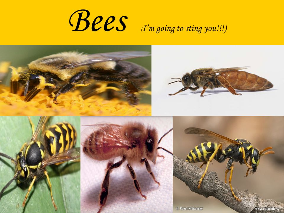 Bees ( Im going to sting you!!!)