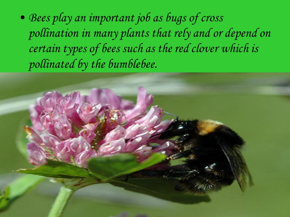 Bees play an important job as bugs of cross pollination in many plants that rely and or depend on certain types of bees such as the red clover which is pollinated by the bumblebee.