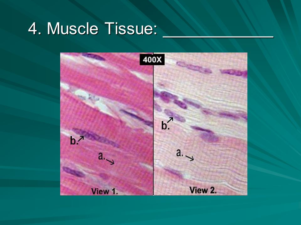 3. Epithelial Tissue: ____________