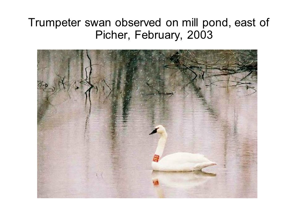 Trumpeter swan observed on mill pond, east of Picher, February, 2003
